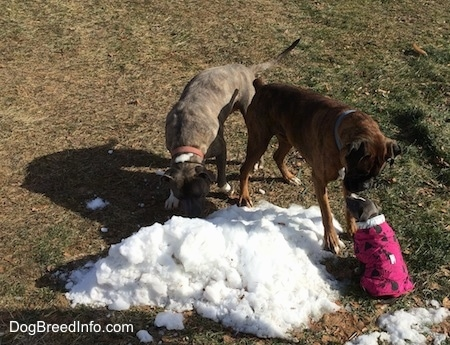 A blue nose Pit Bull Terrier is licking a small pile of snow. Next to him a brown brindle Boxer is standing face to face with a sitting small blue nose American Bully Pit puppy.