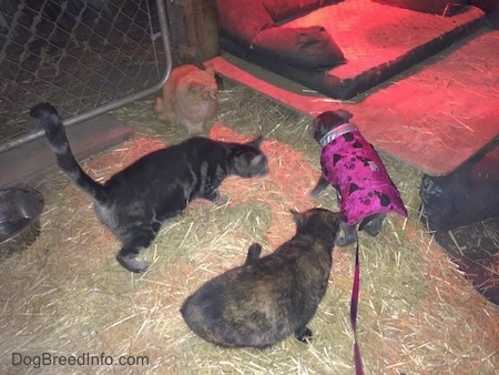 A blue nose American Bully Pit puppy is sitting under a heat lamp and three cats are beginning to surround her. The cats are larger than the small puppy.