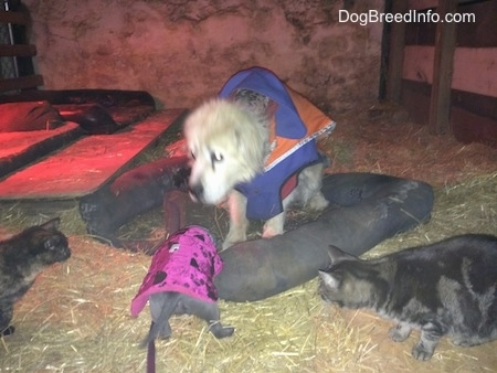 A blue nose American Bully Pit puppy is standing on hay in a barn and cats are beginning to surround her in front of a Great Pyrenees dog in a winter jacket.
