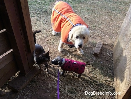 A black cat and a blue nose American Bully Pit puppy are standing in hay. The puppy is sniffing the cat. A Great Pyrenes is standing behind the Bully Pit puppy.