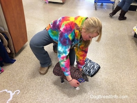 A blonde haired girl is putting a vest on a blue nose American bully Pit in a pet store.