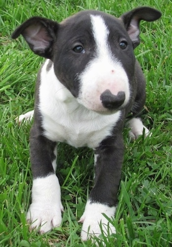 Winston the black and white Miniature English Bull Terrier laying in grass and looking at the camera holder