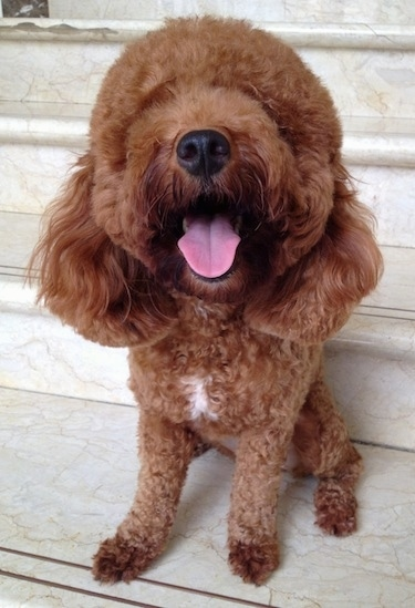 A fluffy brown with a tuff of white Miniature Poodle is sitting in front of white marble stairs, its head is up and its mouth is open and tongue is out.
