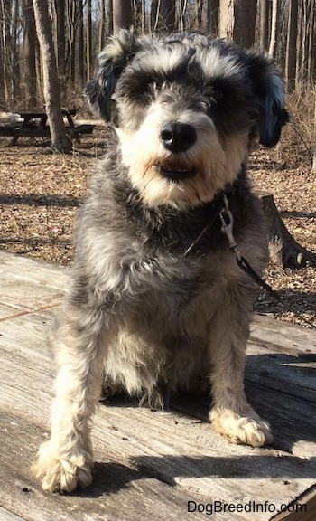 A black, gray and tan Miniature Schnauzer is sitting on top of a wooden table outside at a wooded park. Its mouth is slightly open and it is looking forward.