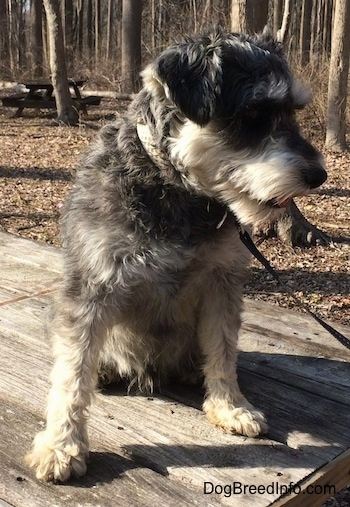 A black, gray and tan Miniature Schnauzer is sitting on top of a wooden table outside at a wooded park looking to the right with its tongue slightly out.