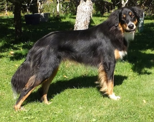 Right Profile - A medium haired, black with tan and white Australian Shepherd/Rottweiler/Border Terrier mix breed dpg is standing in grass and it is looking to the right of its body. Its head is tilted to the right and it has longer hair on its tail, belly legs, neck and ears.