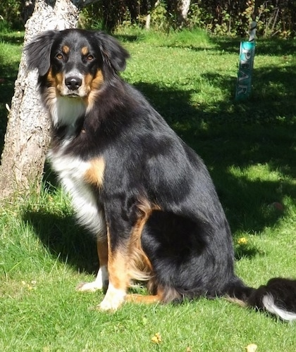 Left Profile - A black, tan and white Australian Shepherd/Rottweiler/Border Terrier mix is sitting in grass in front of a tree looking towards the camera.