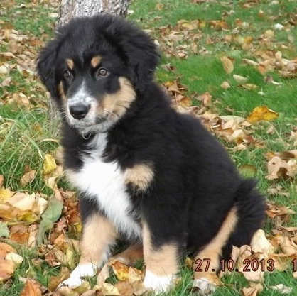 A fluffy, black, tan and white Australian Shepherd/Rottweiler/Border Terrier mix puppy is sitting in front of a tree outside and the grass is riddled with fallen leaves.