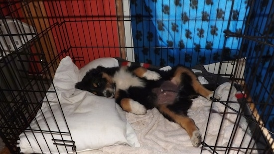 A black, tan and white Australian Shepherd/Rottweiler/Border Terrier mix puppy is laying on its back on top of a pillow and a towel inside of a black dog crate.