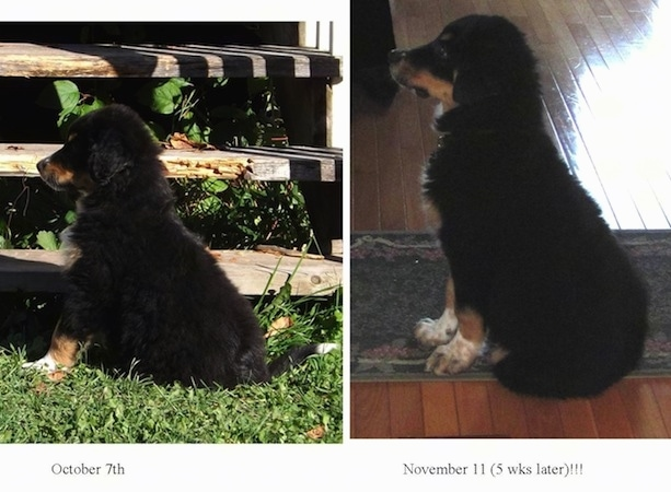 Left Photo - Left Profile - A black, tan and white Australian Shepherd/Rottweiler/Border Terrier mix puppy is sitting in grass in front of wooden steps. Under this photo is the date - October 7th. Right photo - Left Profile - A black, tan and white Australian Shepherd/Rottweiler/Border Terrier mix puppy is sitting on a rug in a house. The date and words - November 11 (5 wks later)!!! - is under this photo.
