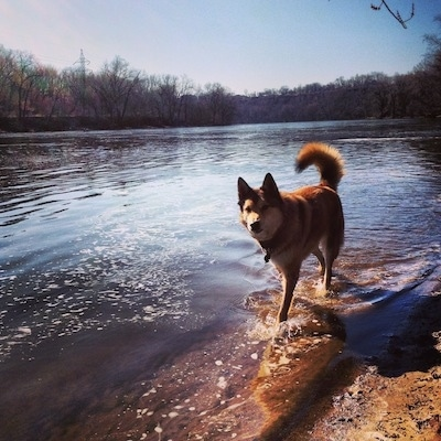 A perk-wolf-eared, medium coated, tan with black and white mixed breed dog is walking along the edge of a large body of water. Its tail us up and curled over its back.