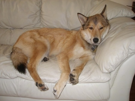 A perk-wolf-eared, medium coated, tan with black and white mixed breed dog it is laying on the arm of a tan leather couch.