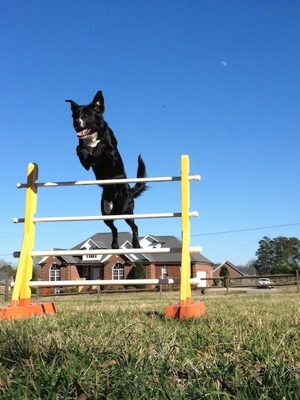 A short-haired, black with white mixed breed dog is jumping over an agility obstacle in grass. Its mouth was open and its tongue is out and its ears are flying in the air. There is a brick house in the distance