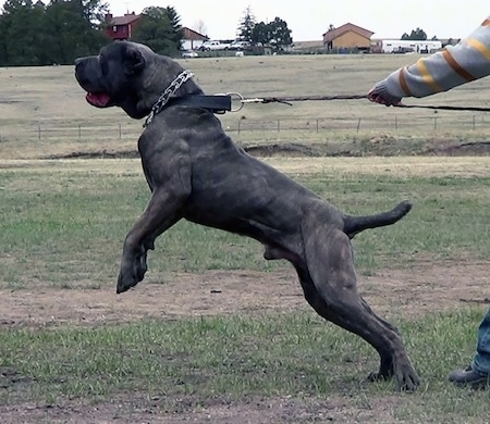 Side view action shot - A black with tan brindle with white Neapolitan Mastiff is being restrained as it pulls so hard its front end is off of the ground on its hind legs. A person is holding the leash. The dog has a thick black collar that is attached to the leash and a prong collar that is not connected to anything.