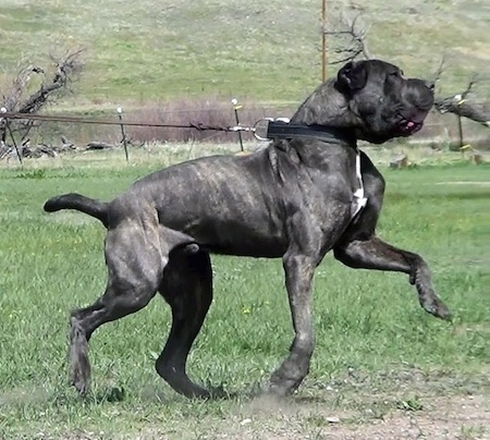 Right Profile - A black with tan brindle with white Neapolitan Mastiff is running across grass while pulling hard on the leash it is connected to.