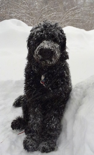 Front view - A black long haired Newfypoo is sitting in deep snow and it is covered in snow.