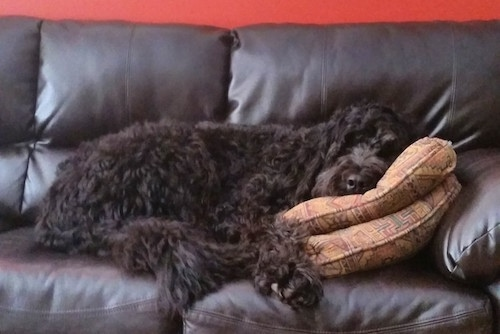 A wavy-coated, black long haired Newfypoo dog is sleeping on a black leather couch with its head on top of two pillows.
