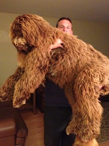 A man is lifting up a brown, shaggy, long haired Newfypoo dog and holding it in his arms. The dog is larger than the human and looks like a huge teddy bear.