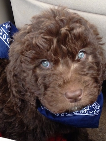 Close up - A brown wavy-coated, blue-eyed Newfypoo puppy is wearing a blue bandanna sitting on a tan carpet.