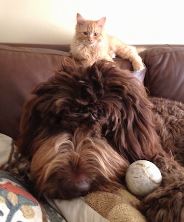 Close up head shot - A brown long haired Newfypoo dog is laying on a couch and there is a baseball in between its head and front paws. There is an orange cat laying on the back of the couch.