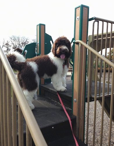 A brown and white Newfypoo is standing on a jungle gym at a park. It is turning its head looking back at the camera.
