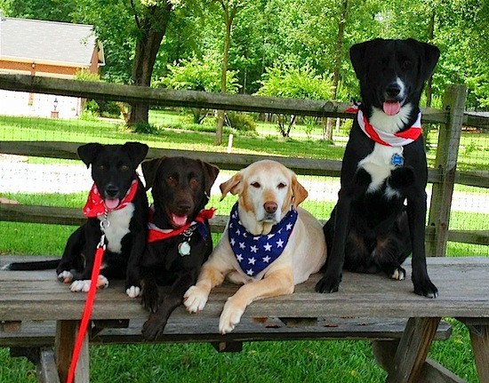 Four dogs lined up outside on a wooden bench - Two dogs are sitting and two dogs are laying. They are all wearing American Flag bandanas