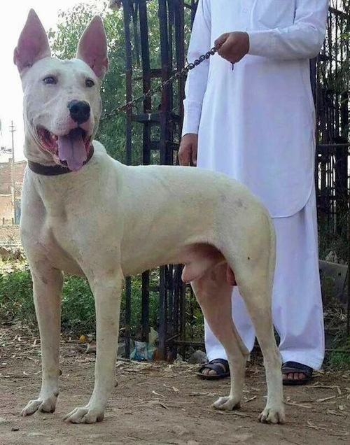 Left Profile - A perk-eared, white Pakistani Bull Terrier is standing on dirt and there is a man dressed in white holding its leash behind it. Its mouth is open, tongue is out and it is looking forward. They are in front of a black medal fence.