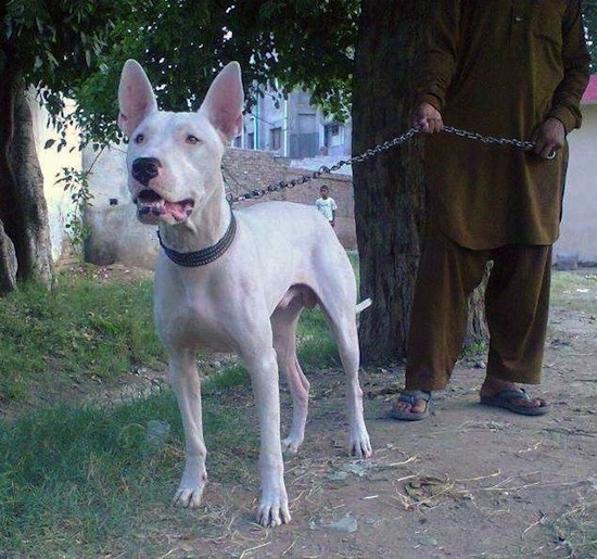 A perk-eared, white Pakistani Bull Terrier dog is standing in dirt under a tree next to grass looking to the left. There is a man dressed in an olive green outfit and blue sandals behind it holding its chain. The dog's mouth is open. There is a little kid in the distance next to a tan brick wall watching.