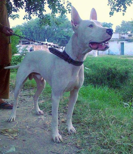 A perk-eared, white Pakistani Bull Terrier dog is standing in dirt and it is looking to the right. Its mouth is open. A man dressed in an olive green outfit and blue sandals is holding its chain behind it.
