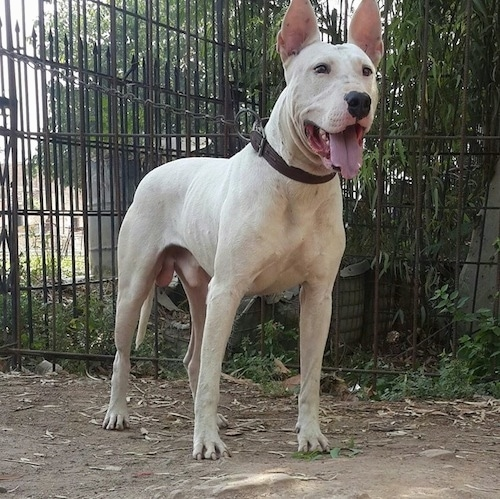 Front side view - A perk-eared, white Pakistani Bull Terrier dog is standing in dirt and it is looking forward. Its mouth is open and tongue is out. There is a metal gate behind it.