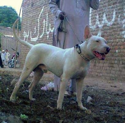 Front side view - A perk-eared, white Pakistani Bull Terrier dog is standing in dirt and its mouth is open. It is looking to the right. There is a man dressed in white next to it holding a leash and a brick wall with Arabic writing on it and a motorcycle parked behind them with people standing next to it.