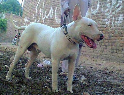 Front side view - A white Pakistani Bull Terrier is standing in dirt looking to the right. There is a man dressed in white next to it holding a leash and a brick wall with Arabic writing on it and a motorcycle parked behind them.