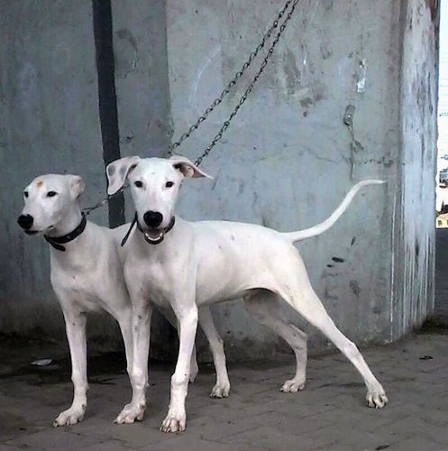 Two tall, white Pakistani Bull Terrier dogs are standing in front of a concrete wall. The dog in the background is looking to the left with its ears pinned back and the one in front of it is looking forward with its ears perked out.