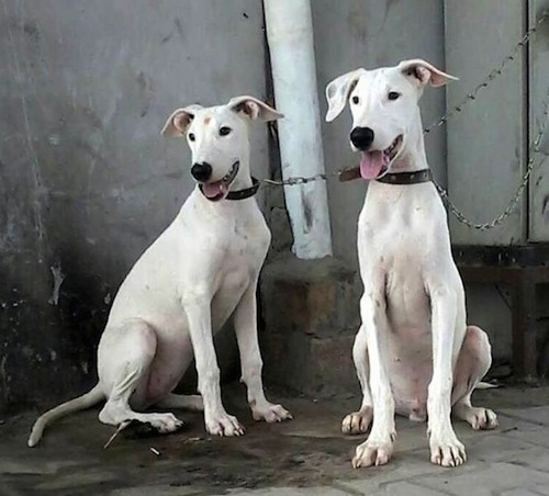 Two white Pakistani Bull Terrier dogs are chained to a pole sitting on a stone surface and in front of a house. Both of there mouths are open and tongues are out. They are looking to the right.