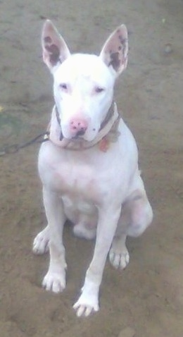 Front view - A perk eared, white Pakistani Bull Terrier is sitting in dirt and it is looking forward. It is attached to a metal chain. It has dark pigment spots on its pink skin.