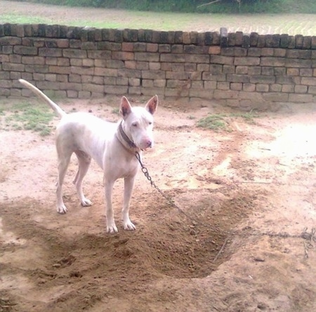 A perk-eared, white Pakistani Bull Terrier is on a chain standing in dirt and in front of a freshly dug hole. There is a stone block wall behind it.