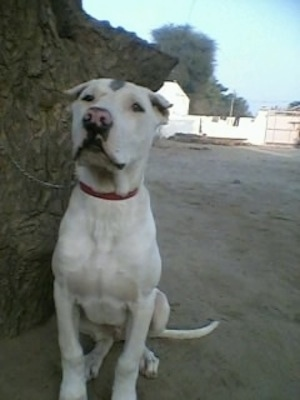 Front view - A crop-eared, white with grey Pakistani Mastiff puppy is sitting in dirt next to a large rock and it is looking forward. Its nose is pink with black around the edges.