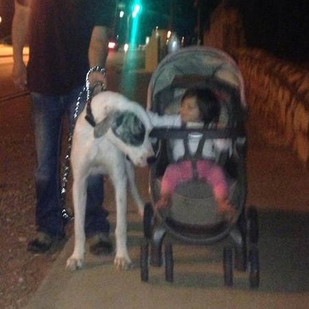A white with grey Pakistani Mastiff dog is standing on a sidewalk next to a baby in a stroller who is petting the dog. The dog is being held on a leash by a man in a black shirt and blue jeans.