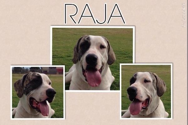 A composited image of head shots of a white with grey Pakistani Mastiff that is laying in grass. There mouths are open and tongues are out. The words - RAJA - are overlayed in the top middle of the image.