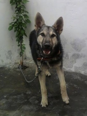 Front view - A black and tan Pakistani Shepherd Dog is standing on dirt in front of and chained to a small tree in the corner of a large concrete wall.