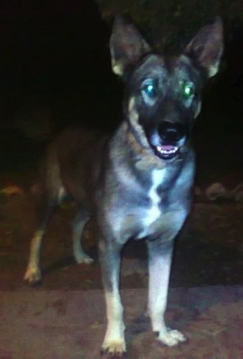 Front side view - A black and tan Pakistani Shepherd Dog is standing on a walkway at night looking forward. Its mouth is slightly open showing its white bottom teeth.