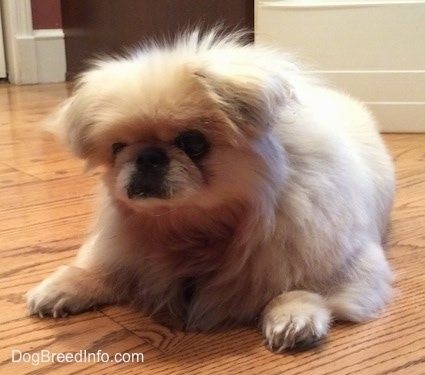 Front side view - A tan Pekingese is laying on a wooden floor and it is looking down and forward.