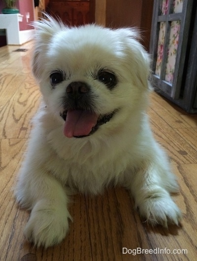 Front view - A happy, white Pekingese is laying on a hardwood floor and it is looking to the left. Its mouth is open and its tongue is out.