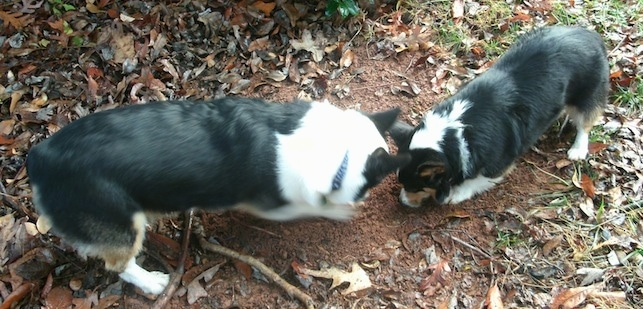 Two tri-color Pembroke Welsh Corgis are standing head to head digging in dirt