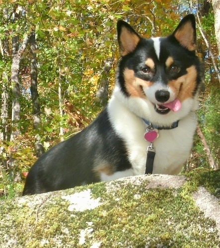 Front view - A happy-looking, tri-color Pembroke Welsh Corgi dog is standing on top of a rock looking down over the edge. The Corgis mouth is open and tongue is out to the right.
