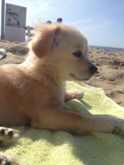 Close up head shot - A fuzzy, tan and white Pin-Tzu puppy is laying on a light green towel on a beach facing the right.