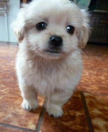 Close up front view - A small, fuzzy, cream colored Pin-Tzu puppy is standing on a brown tiled floor looking forward.