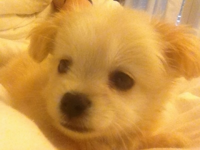 Close up head shot - A fuzzy, white and tan Pin-Tzu puppy is laying on a white blanket looking to the left.