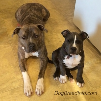 Two dogs laying down and sitting side by side on a tan tiled floor - A blue nose brindle American Pit Bull Terrier dog is laying next to a dark gray with white American Bully puppy who is sitting down. They are both looking up.