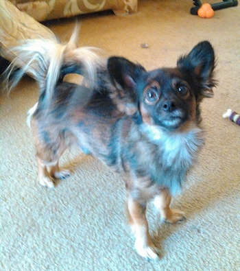 Front side view - A brown and black with white Pomchi is looking up and forward. It is standing on a tan carpet. It has longer fringe hair on its tail.